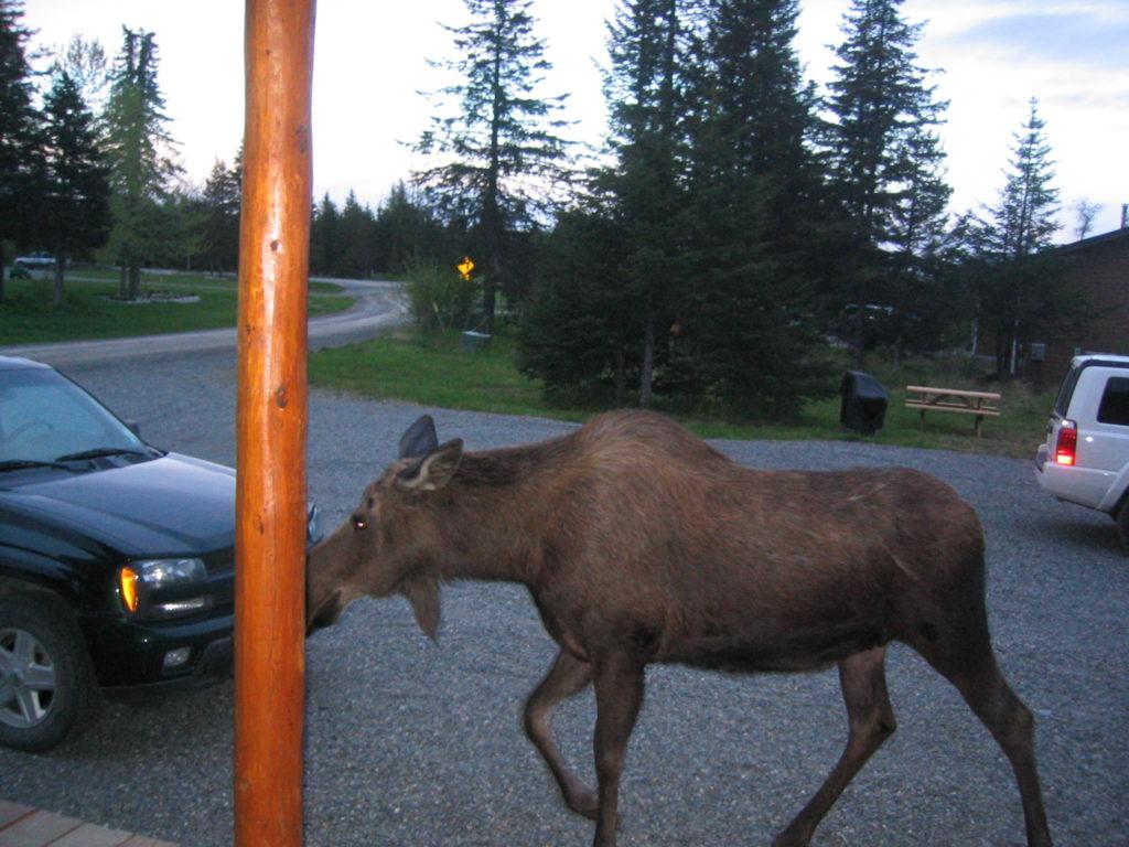 moose visiting